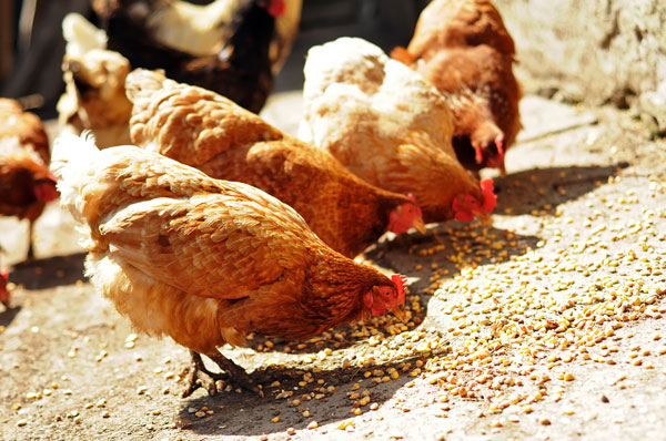 IN 2017, VIETNAM IMPORTS MORE THAN 50.000 DOZENS OF  POULTRY EGGS